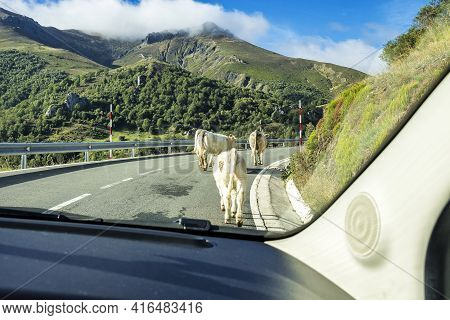 Landscape With Cows On The Road Of The Picos De Europa, Asturias And Cantabria In Spain