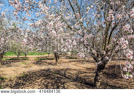 Morning walk in blooming almond grove. Almond trees are covered with beautiful white and pink flowers. Early spring in Israel. Grove of almond trees in spring bloom.