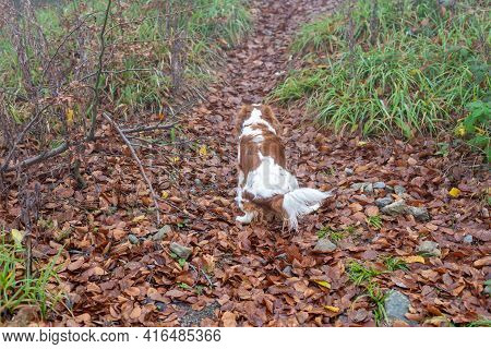 Cavalier King Charles Spaniel On A Path Covered With Fallen Leaves