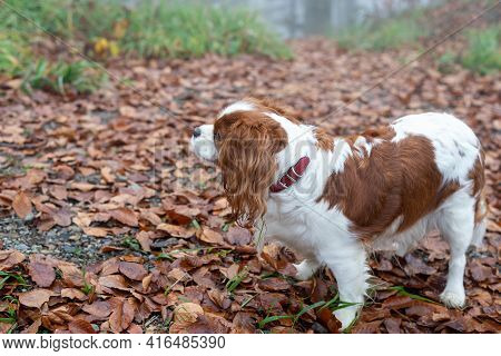 Cavalier King Charles Spaniel On A Path Covered With Fallen Leaves During Hiking
