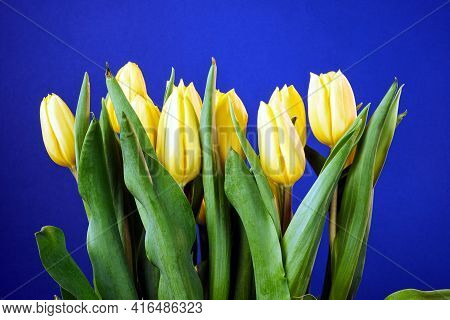 Beautiful Bouquet Of Yellow Tulips On A Blue Background