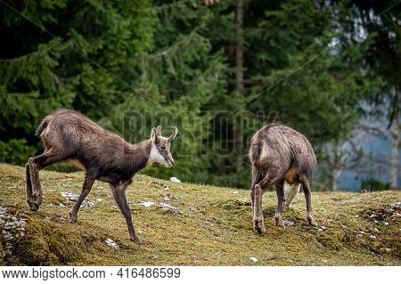 One Chamois Walking And Another Eating Grasses. Rupicapra Rupicapra In Natural Environment In Switze