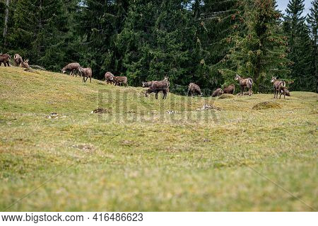 Group Of Chamois Eating Grasses. Rupicapra Rupicapra In Natural Environment In Switzerland. Beauty I