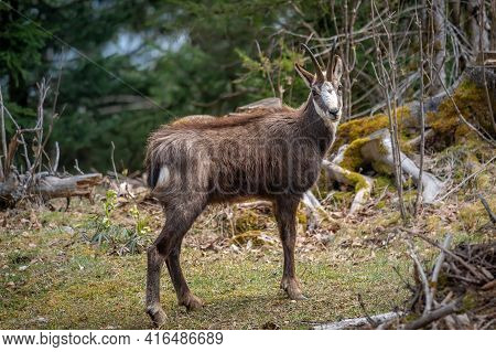 One Chamois Walking In Forest. Rupicapra Rupicapra In Natural Environment In Switzerland. Beauty In