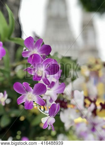 Beautiful Purple And White Orchids Sonata, Phalaenopsis Flower, In Thailand