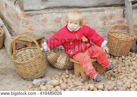 Girl Collecting Potatoes In Basket. Potatoes Are Harvested. Child Helping To Collect Potatoes. Sorti