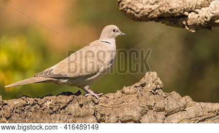 Collared Dove Or Eurasian Collared Dove (streptopelia Decaocto) Is A Bird Belonging To The Order Of