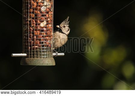 The European Crested Tit, Or Simply Crested Tit (lophophanes Cristatus) Is A Passerine Bird In The T