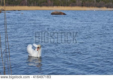 The White Swan Floats On The Water.