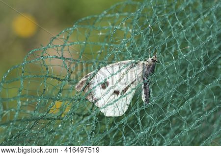 White Butterfly Insect Dying Trapped On A Plastic Net, Waste Pollution.contaminated Animal Habitat