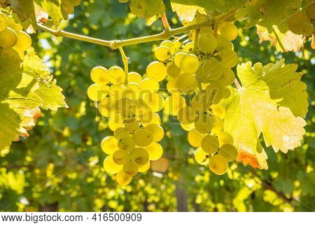 Closeup Of Backlit Bunches Of Sauvignon Blanc Grapes Hanging On Vine In Vineyard At Harvest Time