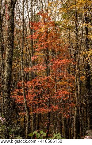 Red Leaves In Dark Forest Along Blue Ridge Parkway
