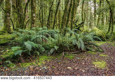 Lush Vegetation In Tropical New Zealand Rainforest With Ferns And Moss Covered Tree Trunks Backgroun