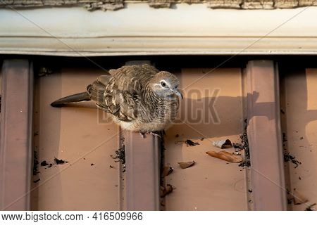 Close Up Baby Zebra Dove Perched On The Roof