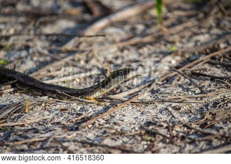 A Rat Snake Slithers Along The Ground In The Late Afternoon.