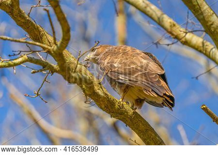 Buzzard In The Forest. Sitting On A Branch Of A Deciduous Tree In Winter. Wildlife Bird Of Prey, But