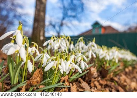 White Snowdrops Flowers On Blurred Background