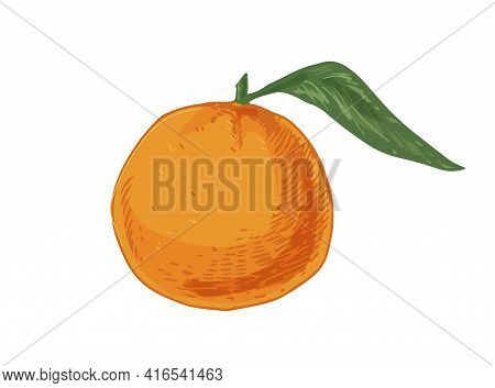 Whole Fruit Of Tangerine With Leaf. Tropical Orange Mandarin Or Clementine. Realistic Hand-drawn Vec