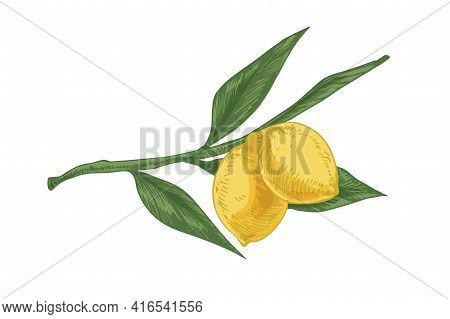 Leaves And Yellow Sour Fruits On Lemon Tree Branch. Fresh Ripe Citruses On Twig. Realistic Hand-draw