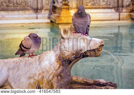 Pigeons At Fonte Gaia, Fountain Of Joy, Piazza Del Campo Siena, Tuscany, Italy