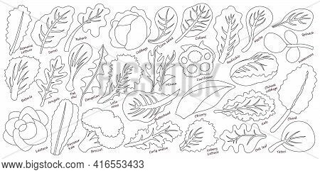 Lettuce And Salad Outline Vector Set Of Icon.outline Vector Set Illustration Leaf Of Lettuce. Isolat