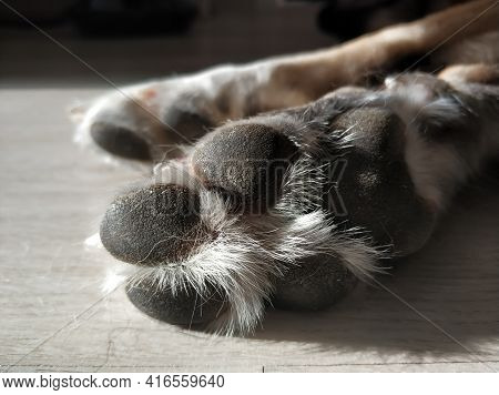 Furry Paw Close-up Of An Adult Dog On The Floor In A Sunbeam.