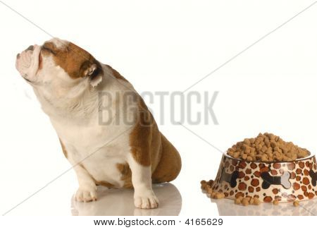 Bulldog Turning Nose Up At Food