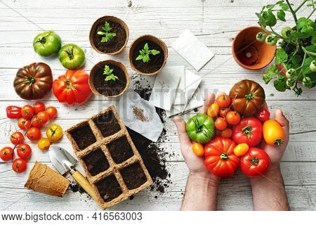 Farmer shows different varieties of tomatoes on table with soil, seeds and young seedlings in greenhouse