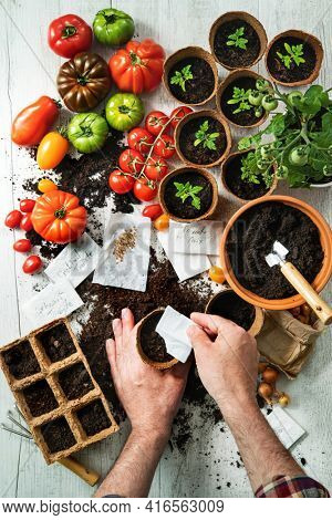 Tomatoes cultivation. Farmer sows tomato seeds in seed pots