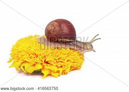A Maroon Snail On A White Background Sits On A Yellow Flower. Sunflower. Isolated. Helix Pomatia-bur
