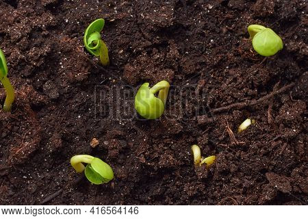 Small Green Seedlings Growing In The Soil, Close-up. A Young Plant Grows In The Ground. Top View. Th