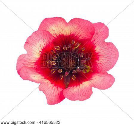 Nepalese Potentilla Flower Isolated On White Background