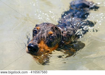 Photo Of Dachshund Puppy Knowns As Badger Dog On Sea Beach. Funny Dog Swim In Water. Actions, Traini