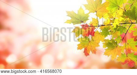 Calm fall season. Maple leaves on sunny beautiful nature autumn background. Horizontal autumn banner with  Maple leaf of red, yellow and green color. Copy space for text
