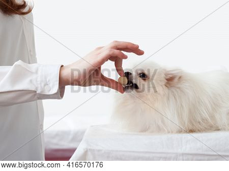 The Hand Gives A Large Pill To A White Pomeranian Dog, Which Has Opened Its Mouth. The Concept Of Vi