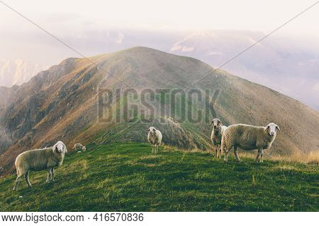 Herd Of Sheeps Grazing In Spectacular Scenery Foggy Autumn Mountains. Mammal Domestic Animal Stands