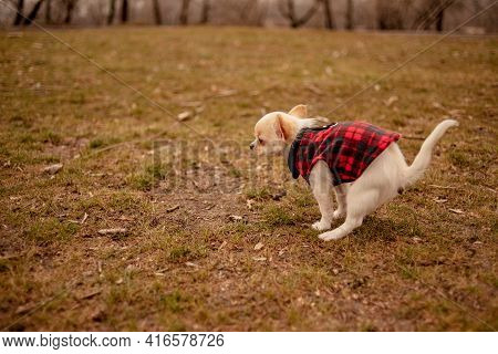 Chihuahua Pooping At Grass Field. A White Chihuahua Dog Poops. Chihuahua, Toilet, Pooping Puppy,