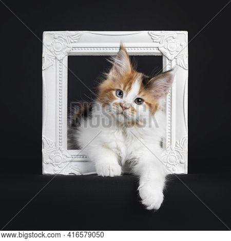 Beautiful Marked Odd Eyed Maine Coon Cat Kitten, Laying Through White Photo Frame. Looking Towards C