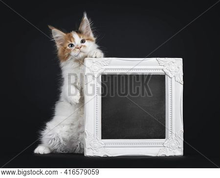 Beautiful Marked Odd Eyed Maine Coon Cat Kitten, Standing On Hind Paws Holding Up A White Photo Fram