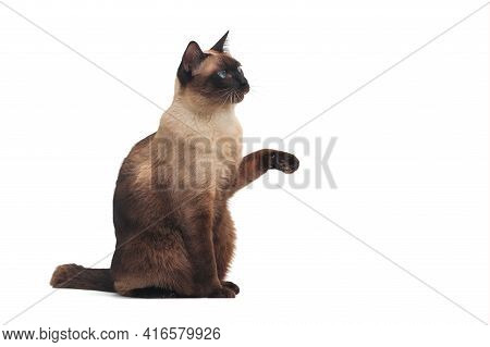 Siamese Cat With Blue Eye Sitting On White Background. Blue Diamond Cat Isolated On White Background