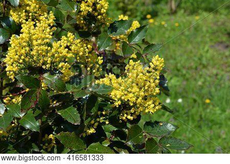 Mahonia Aquifolium, Oregon Grape Mahonia Or Holly-leaved Berberry Blooming In The Garden. Ornamental