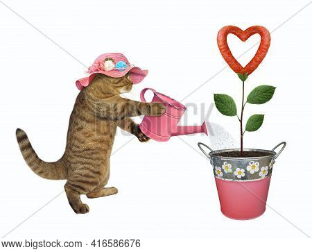 A Beige Cat In Straw Hat Gardener Is Watering A Sausage Flower That Growing In A Metal Pail. White B
