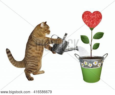 A Beige Cat Gardener Is Watering A Sausage Flower That Growing In A Metal Pail. White Background. Is
