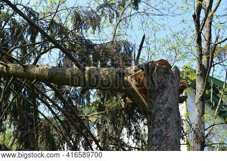 A Storm Damaged Fir Tree With A Broken Tree Trunk. Fallen Fir Tree After A Stormy Weather, Hurricane