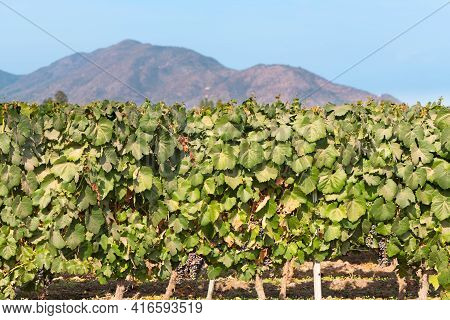 Vine Crops At A Vineyard At Colchagua Valley, Chile