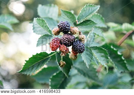 Ripe Blackberries On Bush Are Ripe. Ripe And Unripe Red And Black Blackberries In Process Of Growing