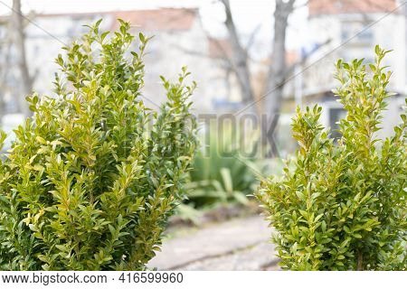 Boxwood Bush In The Garden. Uncut Boxwood Bushes In The Garden. When To Cut Boxwood