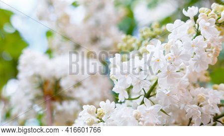 White Lilac. Spring Blooming Flowers Of White Lilac On Lilac Bushes. Natural White Flower Against Bl