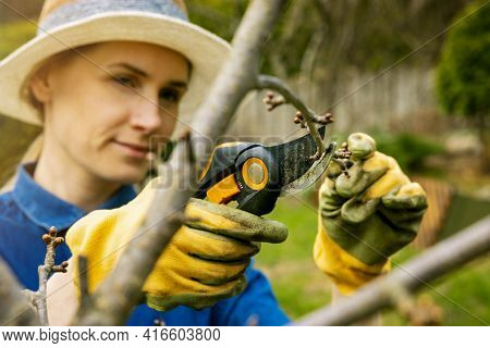 Woman Cut Cherry Tree Branch With Pruning Shears. Spring Gardening