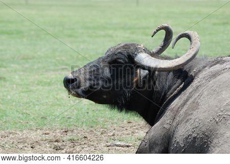 Asiatic Water Buffalo. The Wild Water Buffalo (bubalus Arnee), Also Called Asian Buffalo, Asiatic Bu